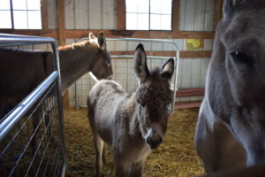 A young Donkey foal.We share the wonderful milk with her