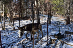 Our beautiful Donkeys roam our pastures and woodlots