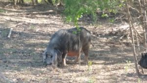 A True Grazing Hog