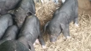The Future of The Meishan Breed- Reserve your piglets now!!