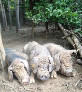 Docile Meishan Boars chilling on a summer day