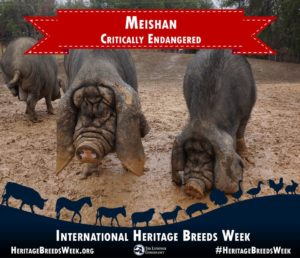 Pure meishan Pigs are Critically endangered