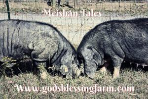 Meishan Pig newsletter