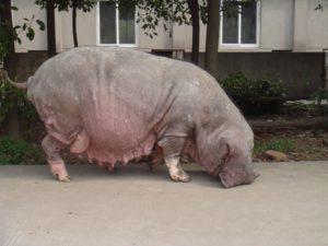 Chinese Meishan pig