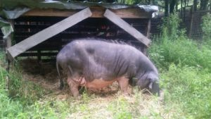 Meishan Pig in Tennessee