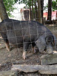 Iowa State Bloodline Meishan Pig
