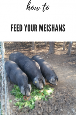 Feeding Meishan Pigs for Success - Meishan Pigs From Gods