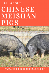 Learn About Meishan Pigs