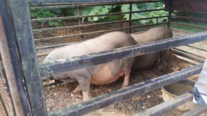 Feeding meishan Pigs